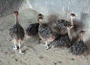 انواع جوجه شترمرغ در تهران
